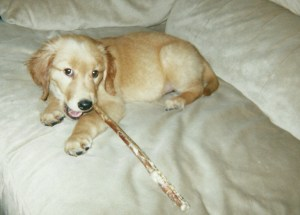 Baby Luna chewing on her rawhide