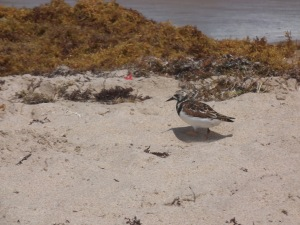 Lonely bird searching for food on the sandy beaches of Delray Beach