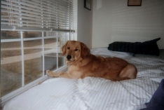 Golden retriever waiting on bed for his mommy to come home